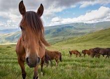 Koński pasanie na halnej łące Fotografia Stock
