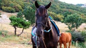 Koński pasanie na Krymskich średniogórzach Zdjęcie Royalty Free