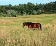 Koński pasanie w łące obraz royalty free