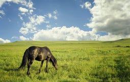 Koński pasanie w lato paśniku Fotografia Royalty Free
