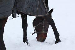 Koński patrzeć dla trawy Obrazy Royalty Free