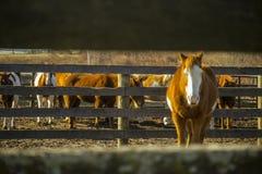 Koński patrzeć przez ogrodzenia zdjęcie stock