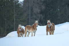 Koński portret na białym śniegu podczas gdy patrzejący ciebie Obraz Royalty Free