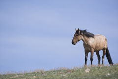 koński samotny dziki Fotografia Royalty Free