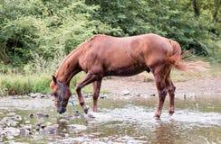 Koński samotny pić w rzece fotografia stock