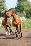 Koński stado bieg uwalnia przy polem Zdjęcia Royalty Free