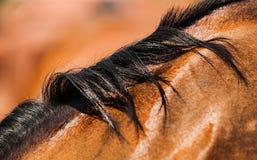 Koński włosy Fotografia Royalty Free