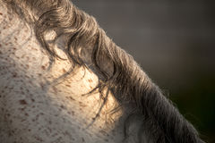Koński włosy Obrazy Royalty Free
