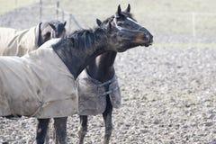 Końskie emocje Obraz Royalty Free
