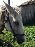 Końskiej głowy zbliżenie na nieociosanym tle jata Zdjęcia Royalty Free