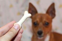 kość biskwitowy pies obraz stock