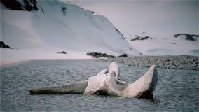 Kość wielorybi kościec zbiory wideo