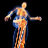 Kośćcowy kolano royalty ilustracja