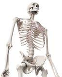 Kośćcowy system - thorax Zdjęcia Stock