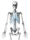 Kośćcowy thorax Obraz Stock