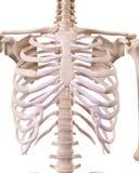 Kośćcowy thorax Obrazy Royalty Free