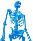 Kośćcowy thorax Zdjęcie Stock
