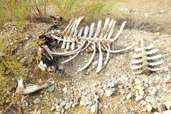 kości Obrazy Stock