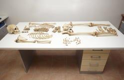 kości kośca czaszka zdjęcia stock