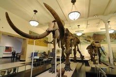 kości mamutowe