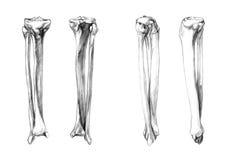 Kości noga & x28; fibula, tibia& x29; ilustracja wektor
