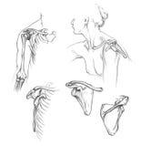 Kości ramię royalty ilustracja