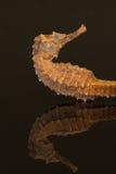 Kościec odizolowywający na czarnym tle seahorse Obraz Royalty Free