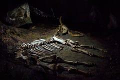 Kościec prehistoryczny zwierzę w kras jamie Fotografia Royalty Free