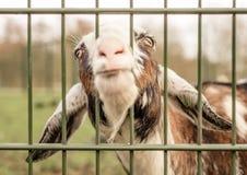 Koźli kije przewodzą przez ogrodzenia, błaga dla jedzenia zdjęcie stock