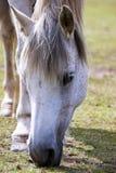 koń Obrazy Royalty Free