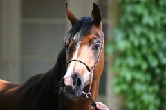 koń arabska wody Obrazy Royalty Free
