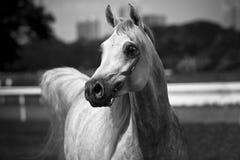 koń arabskiego Obrazy Royalty Free