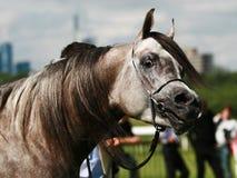 koń arabskiego Zdjęcia Royalty Free