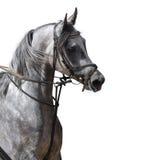 koń arabskiego Obrazy Stock