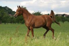 koń arabskiego Obraz Royalty Free