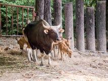 Ko Banteng, röda tjurar arkivfoton