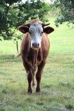 Ko closeup p? en ko fotografering för bildbyråer