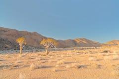 Kołczanów drzewa w Richtersveld Zdjęcia Stock