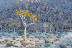 Kołczanów drzewa w Richtersveld Zdjęcia Royalty Free