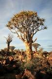 Kołczanu Drzewa Las Fotografia Royalty Free