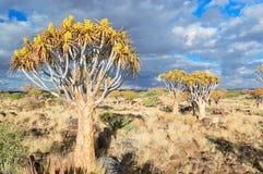 Kołczanu drzewny las, kokerbooms w Namibia, Afryka Obraz Stock