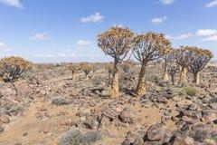 Kołczanu drzewo, aloesu dichotoma lub Kokerboom, w Namibia Zdjęcia Stock