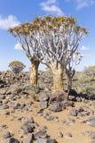 Kołczanu drzewo, aloesu dichotoma lub Kokerboom, w Namibia Obraz Stock