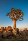 Kołczanu drzewo lub aloesu dichotoma, Keetmanshoop, Namibia Obrazy Royalty Free