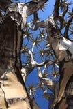 Kołczanu drzewo w Namibia Obrazy Royalty Free