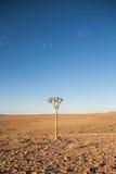 Kołczanu drzewo w Pustynnym pobliskim Rybim Rzecznym jarze, Namibia (aloesu dichotoma) Zdjęcie Stock