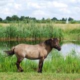 koń dziki Fotografia Royalty Free