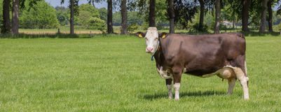 Ko för brun schweizare i ett holländskt landskap arkivbild
