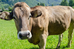 Ko för brun schweizare på grön äng med alpin bergbakgrund arkivbild