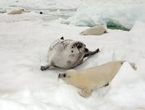 Ko för harpaskyddsremsa och nyfödd valp på is arkivfoto